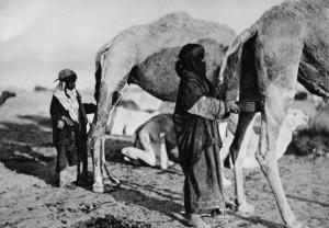 Beduinen-Kamelurin